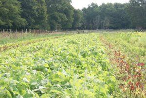 Maraîchage biologique à la ferme de Rosny